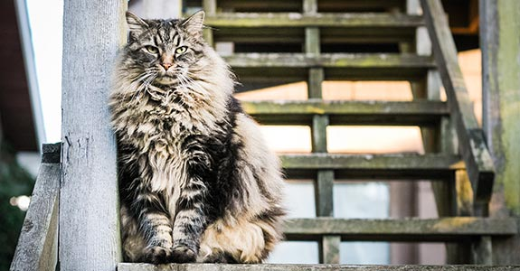 Large, furry cat | Angelo DeSantis/Moment Open/Getty Images