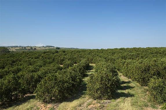 Citrus grove: © BrazilPhotos/Shutterstock.com