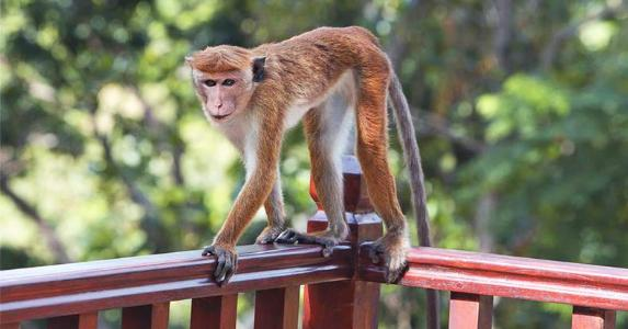 Monkey on house railing © Seraph P/Shutterstock.com