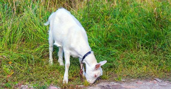 Goat eating grass © iStock